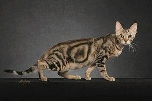 Сококе - порода кошек: фото, описание, купить, объявления