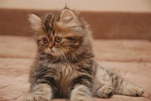 Шотландская длинношерстная кошка (Хайленд-страйт): фото и описание породы