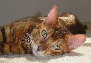 Тойгер (порода кошек): фото, описание и уход