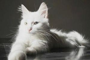 Турецкая ангора (Ангорская кошка): фото и описание породы.