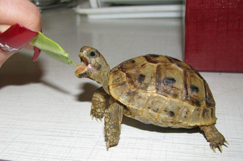 Домашние черепахи